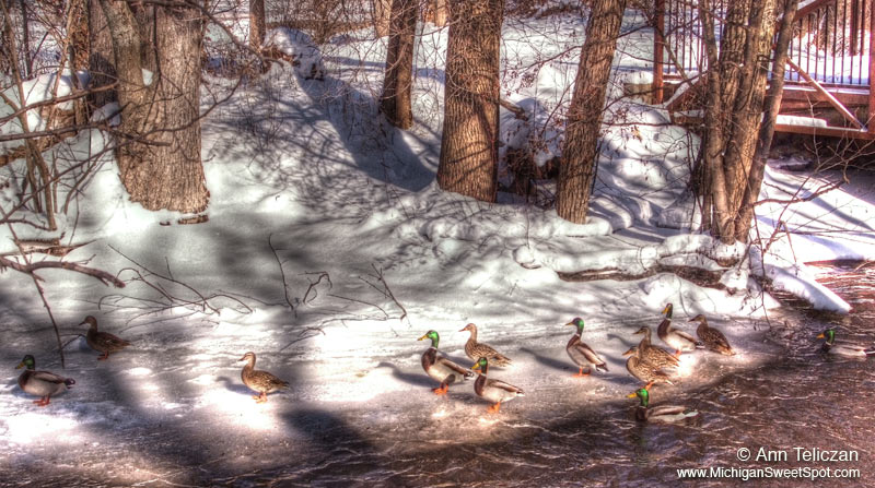 Cold Ducks!