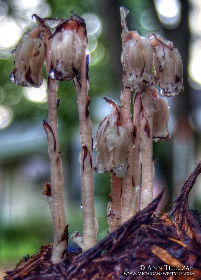 Indian Pipe or Ghost Plant