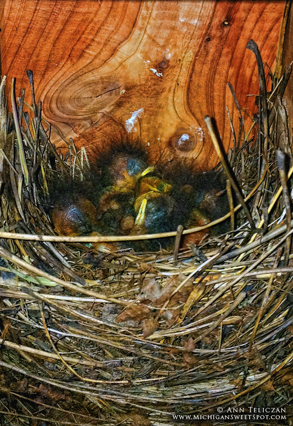 Shhh! Do Not Disturb the Baby Bluebirds!