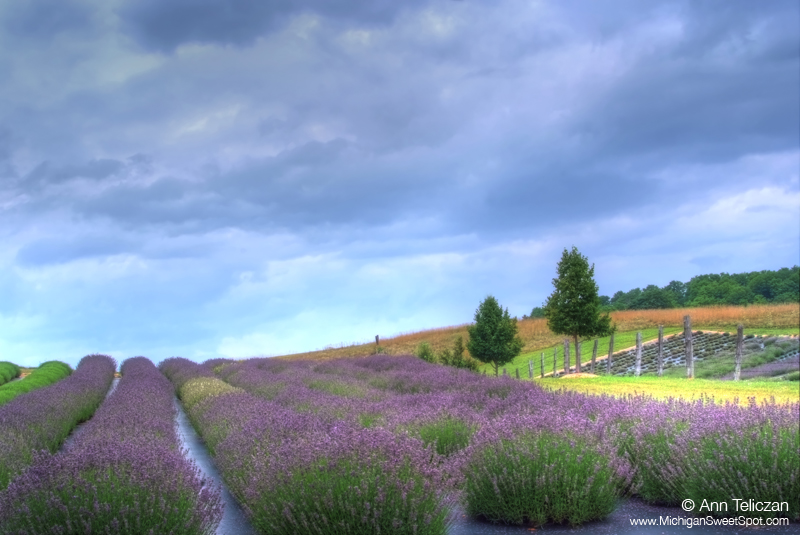 Michigan Lavender Festival Has Smell 100 Images